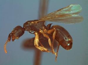 Dolichoderus laminatus