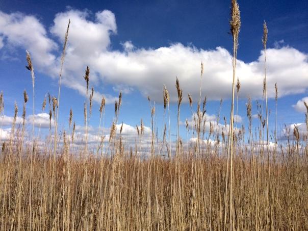 Grasses SCanadianRiver Mike Kaspari